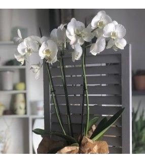 Phalaenopsis Blanc. AnyFleurs.fr