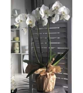 Phalaenopsis Blanc avec 3 ou 4 branches. AnyFleurs.fr