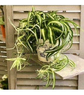 Chlorophytum frisé dans son cache-pot en céramique. AnyFleurs.fr