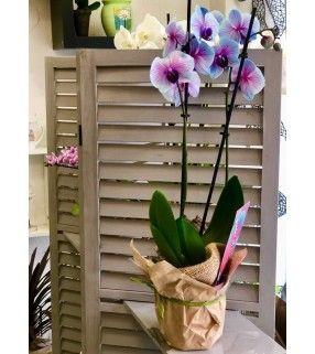 Orchidée Phalaenopsis teinté rose et bleu. AnyFleurs.fr