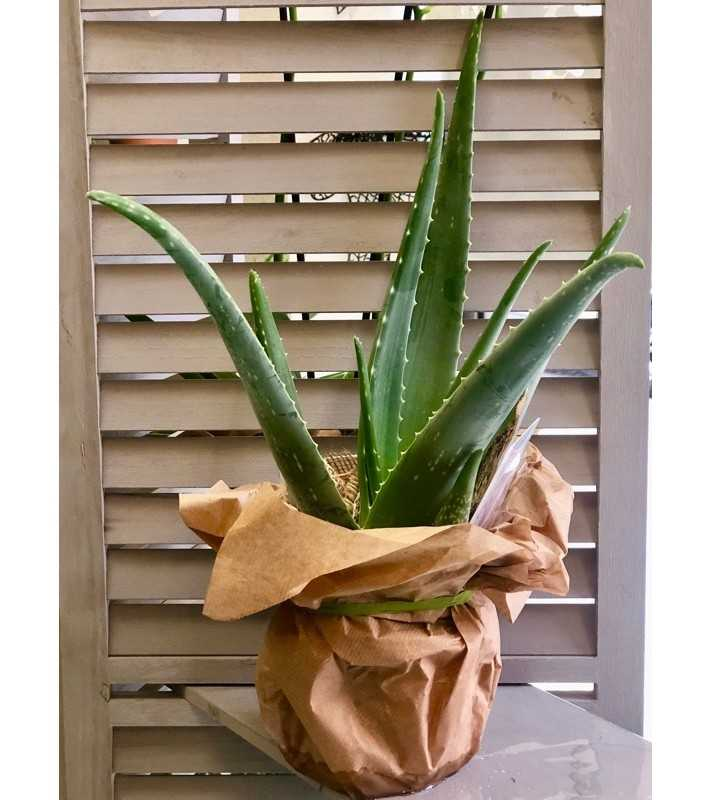 Plante Aloë Vera, végétal décoratif d'intérieur. AnyFleurs.fr