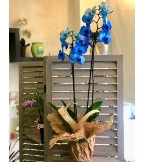 """Phalaenopsis Bleu variété """"Blue Mystique"""". AnyFleurs.fr"""